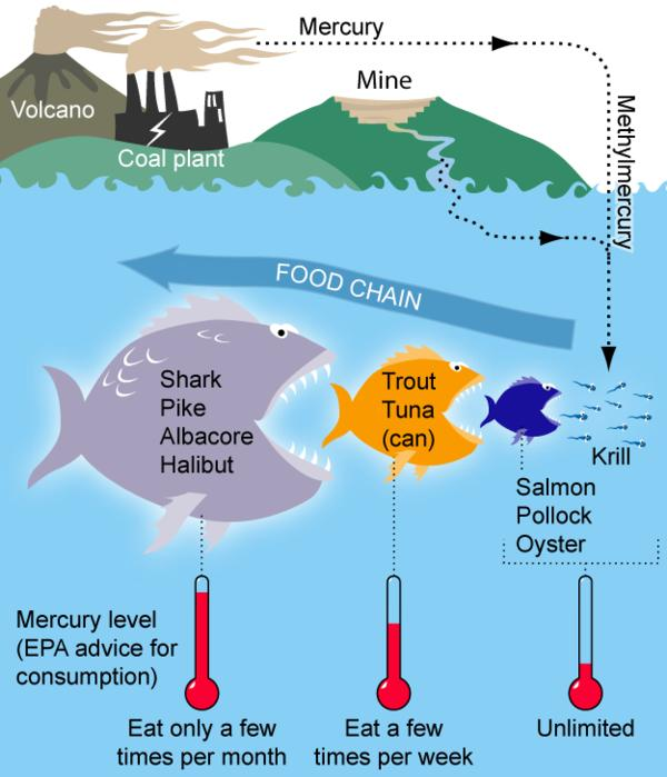 What long-term health effects will I have from eating too much high mercury fish (ahi tuna)?