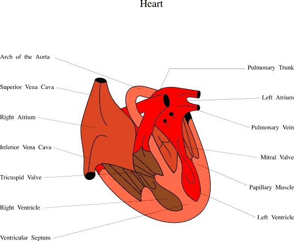 What is considered a heartbeat? What is the exact definition?