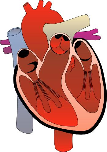 Does the heart enlarge if it is overworked for a long period of time?