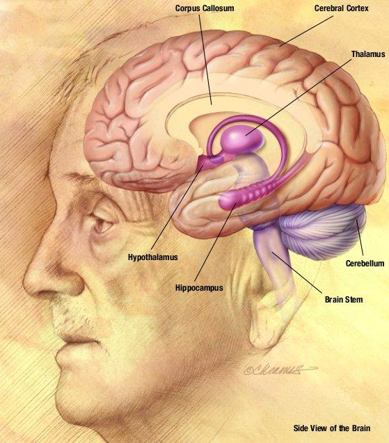 What are the cerebrum and the cerebral cortex the same?