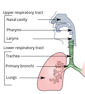 What is upper respiratory infection?