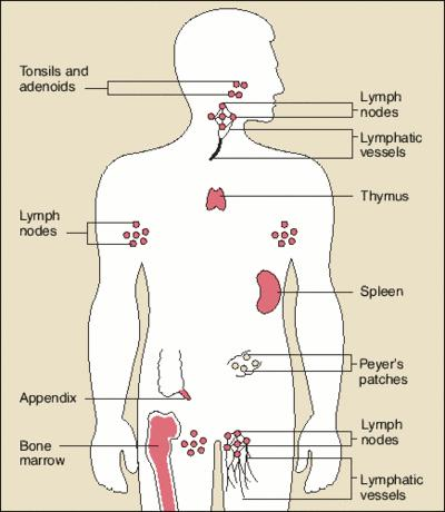 What are the diseases of the immune system?