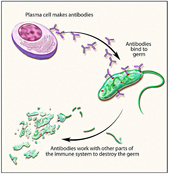 How long does it take to get rid of a bacteria infection with antibodies?