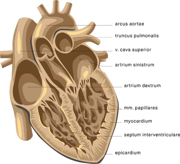 What do you call the muscle in the left ventricle of the heart?