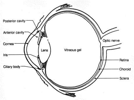 Willelidel affect eye sight?