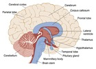 Brain Diagram Abscess Blurry vision Brain Brain abscess Cerebrum Compresses Fever Hazy vision Headache Infection Neck Recent travel Staph Infection Stiff neck Tissue Travel Vision Staphylococcal infection