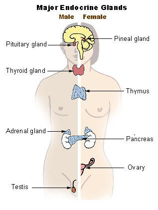 What endocrine glands affect human hair growth?