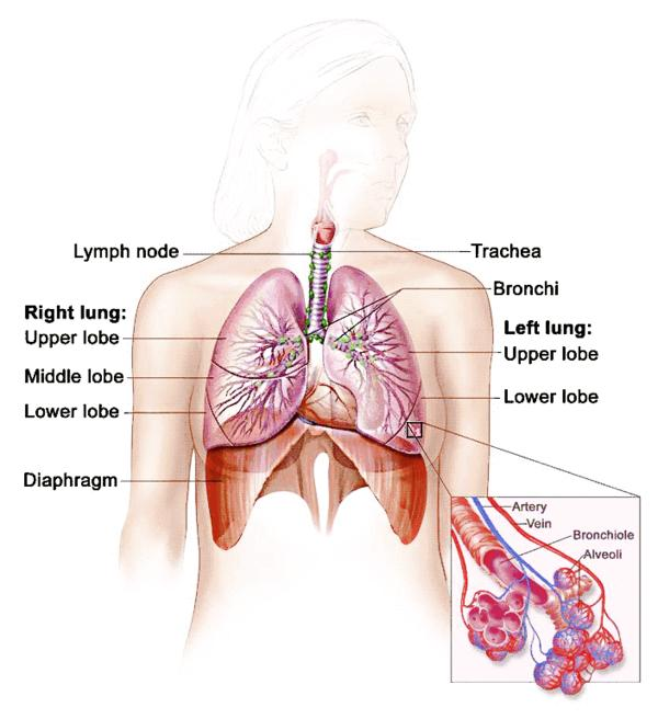 Is there any secretion  in the respiratory system?