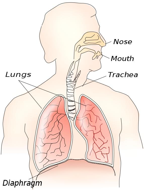 How many organs are part of the respiratory system?