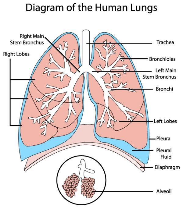 How can I get my lungs back to being fully functional after bronchitis?