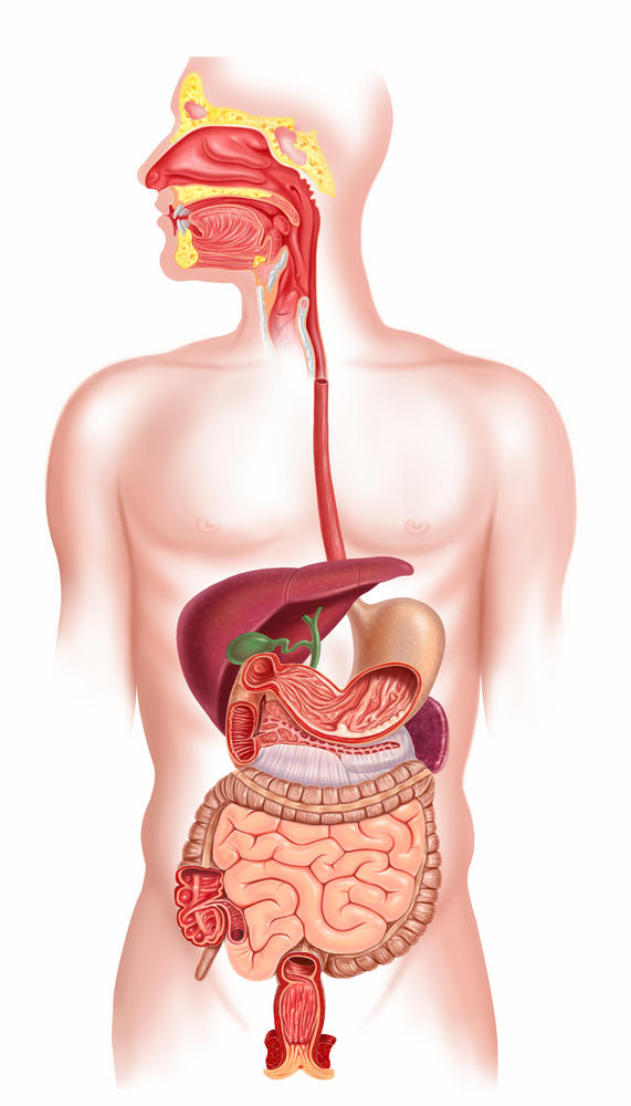 What are all the parts of the digestive system?