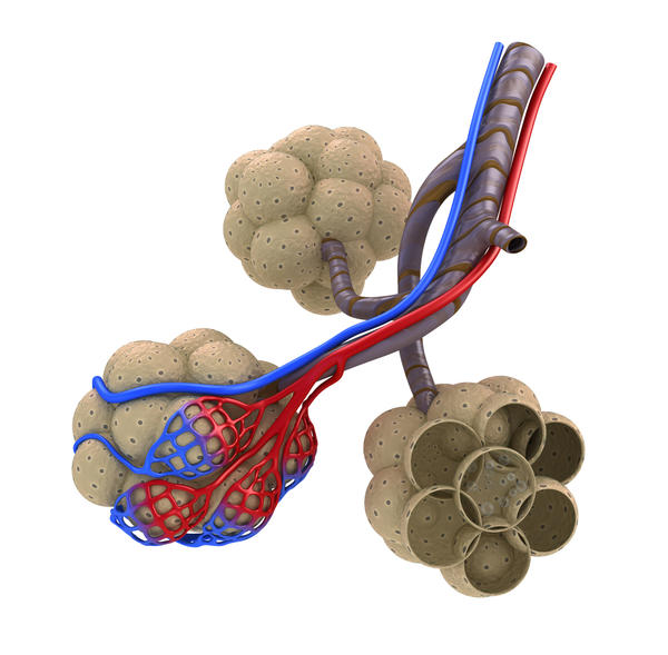 Does chronic exercisce get the body to adapt and increase the number of alveoli in the lungs?