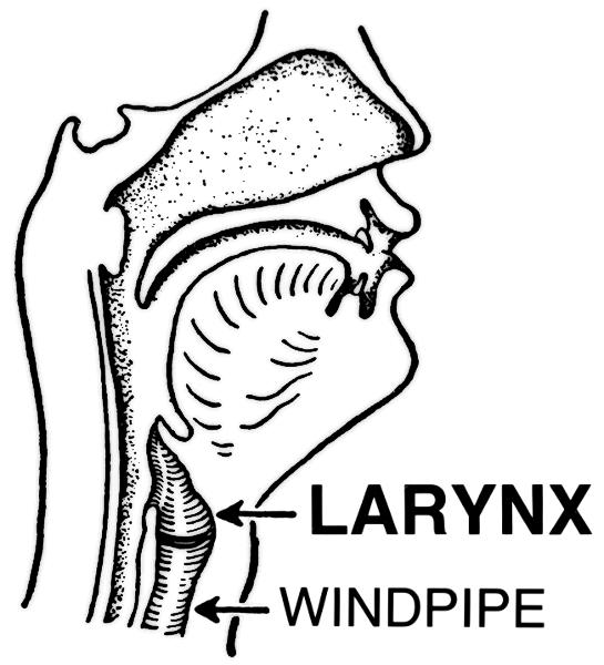Where is the larynx located in neck?
