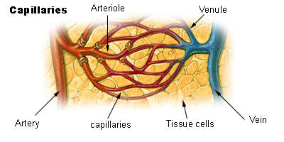 What's the inside lining of the blood vessels like?
