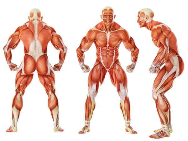 How long does it take for muscles to atrophy?