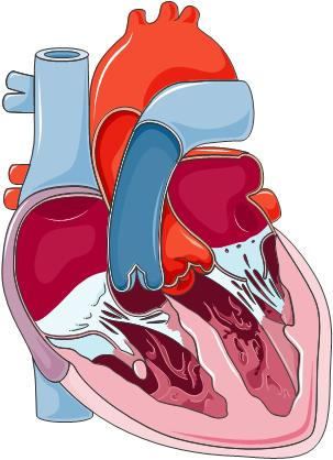 Is the heart located in the center chest or left side?
