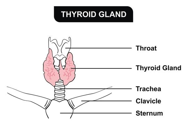 What does it mean that the thyroid gland is mildly prominent?