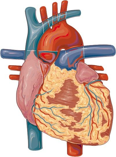 How does chronic liver disease affect the heart?