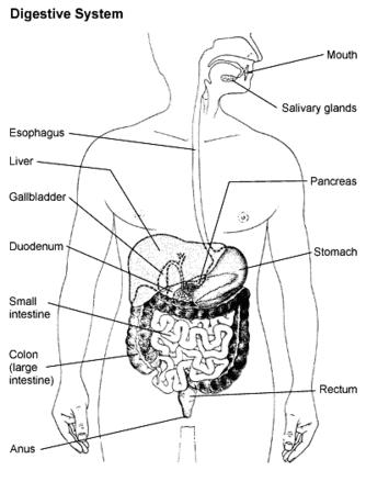 How does the respiratory interact with the digestive system?