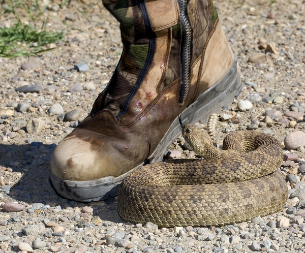 Do people with non venomous snake bite have a lot of pain?