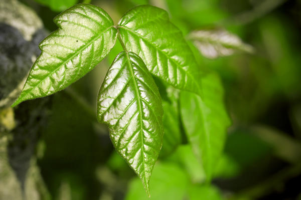 Warm or cold compress for poison ivy in eye?
