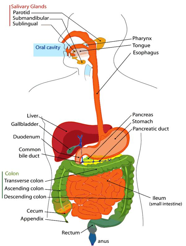 What hormones affect the digestive system?