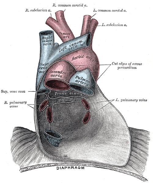 What is the fluid in the interior of the pericardium?