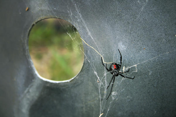 Describe the features of a black widow spider bite.?
