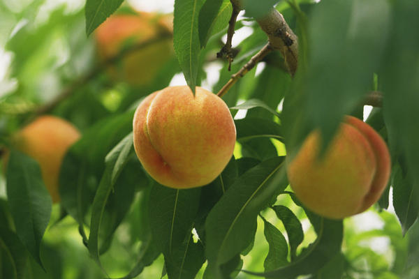 I swallowed an orange pit, will a tree grow in my stomach?