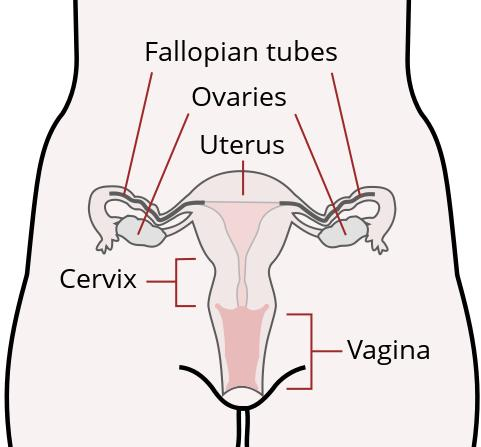 Where are the fallopian tubes located?