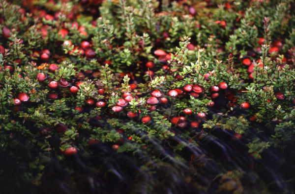 Could cranberry juice cause an uti?