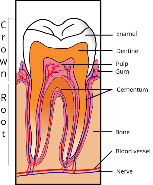 What is a tooth eruption?
