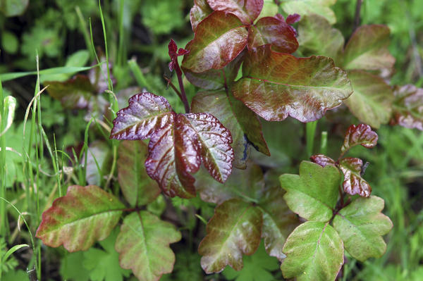 What medications help treat poison ivy?