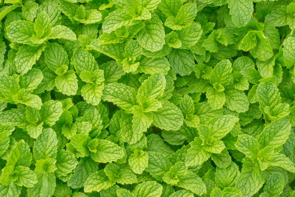 What is Ginger mint good for?