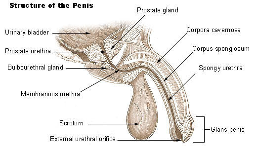 What is the definition or description of: prolonged erection?