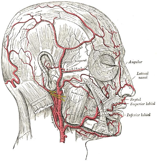 Does temporal arteritis biopsy permanently incapacitate the temporal artery?