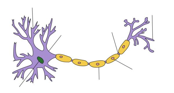 Which peripheral nerves are affected with guillain barre syndrome ?