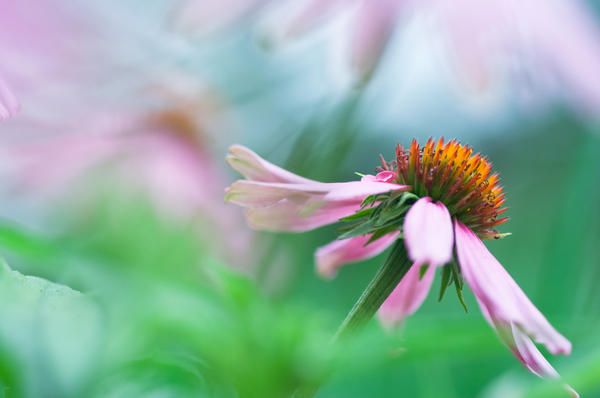 What's your thoughts are on using Echinacea? Does it really work to boost immune system, fight colds? Dose/strength/name brand?