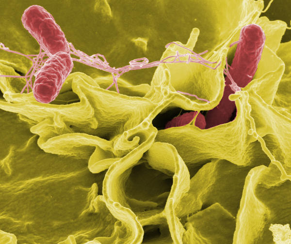 Why does it take so long for the symptoms of salmonella food poisoning to appear?