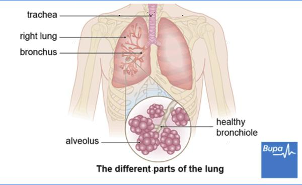 Can you give simple answer to where are bronchial tubes?