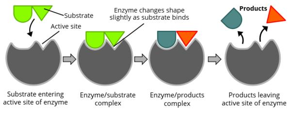 What factors modify enzyme structure and function?