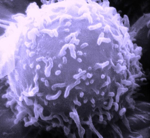 What is a lymphocyte?