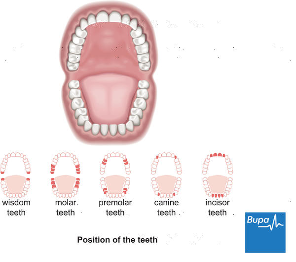 How many different teeth are your wisdom teeth?