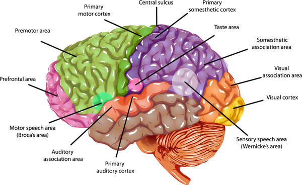 What increases Cranial Capacity and Brain Size ? I want to improve mi IQ Intelligence