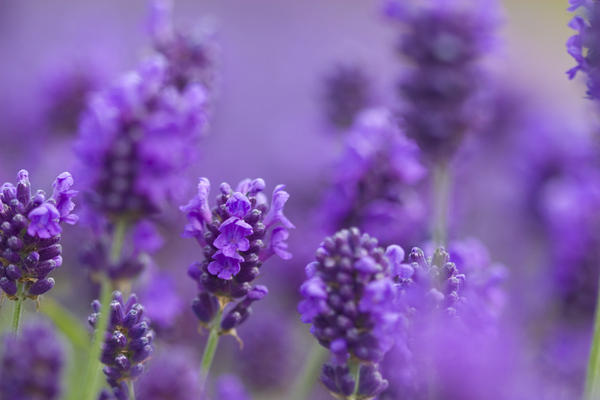 Does lavender tea relieve anxiety, or is this a myth/home remedy? If true, how does it relieve anxiety?