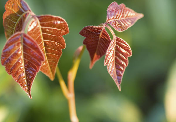 How do you stop poison ivy rash from spreading to the rest of your body?