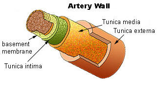 What is a artery, what is a vein and, what is a capillary?
