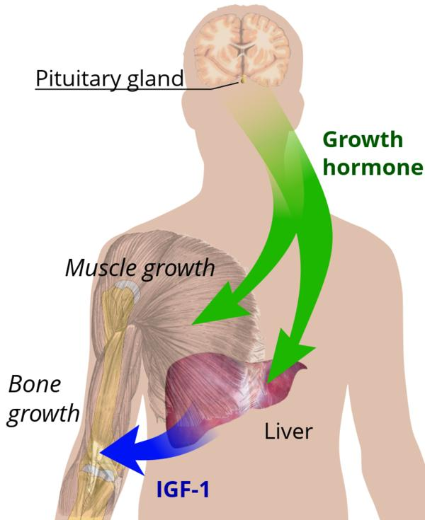 What is the signal transduction pathway of human growth hormone?