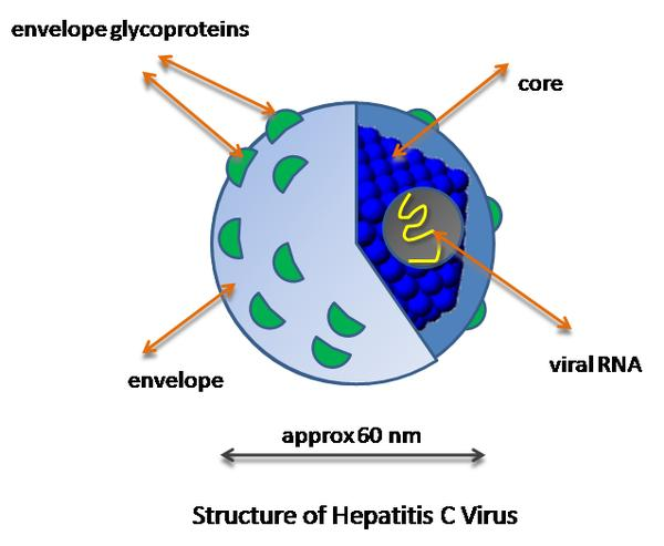 How long could a patient with hepatitis C virus live without any medical treatment but eating recommended food?