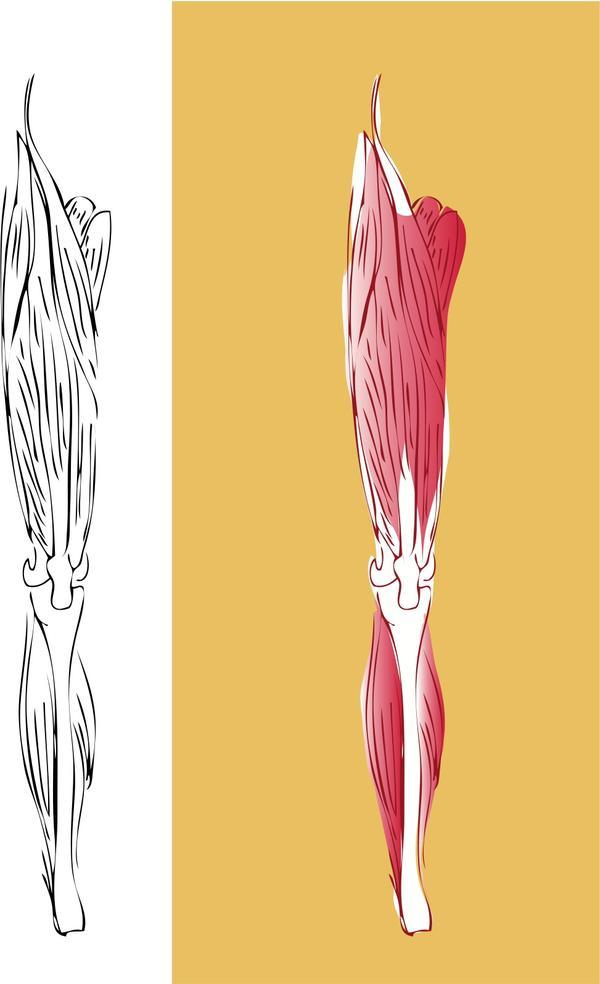 Are there any tendons in back of the leg below the knee besides the Achilles tendon?